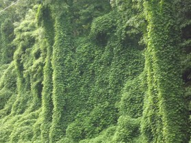 Kudzu Covering Trees in Tennessee