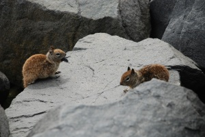 Ground Squirrels