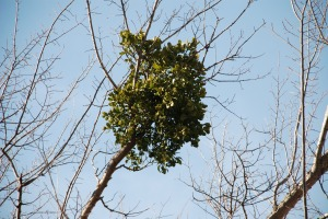 Mistletoe Clump
