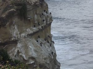 Cormorants on sandstone ciff