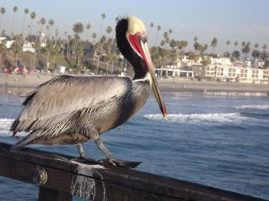 Pelican watching water for food!  (I'm becoming obsessed with Pelicans.)