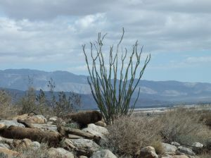 Ocotillo Plants