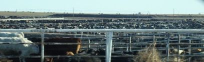 CATTLE FEEDER LOT