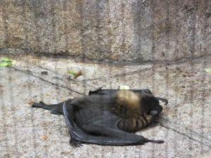 BABY RODRIGUEZ FRUIT BAT