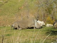 WHITE RHINO... ONE OF SEVEN REMAINING IN THE WORLD