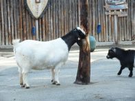LUNCH TIME GOATS