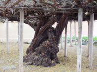 ROSE TREE 1