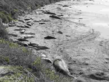 Elephant Seals Rookery