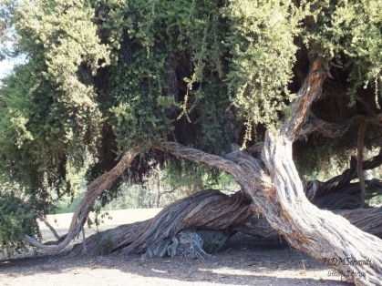 TWISTED TREE BALBOA PARK