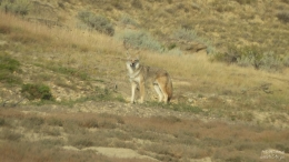 COYOTE HEADING FOR PRAIRIE DOG HAVEN